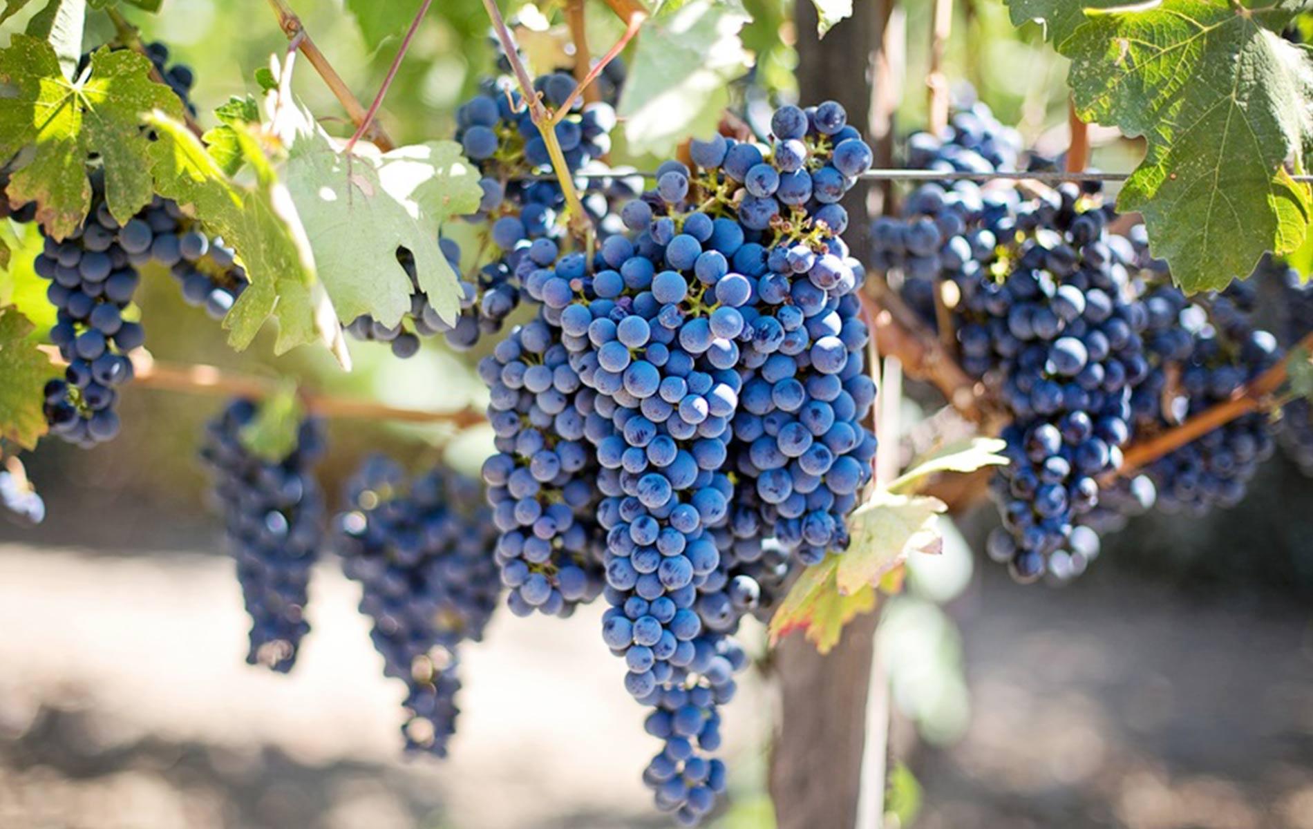 vino-storia-castellano